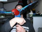 eclectus parrot or sale