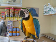 DNA TESTED WELL TRAINED BLUE AND GOLD MACAW BIRDS [ parrots } for sal