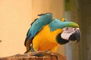 playful and Understanding parrots for Adoption